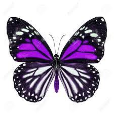 purple butterfly white tiger danaus melanippus