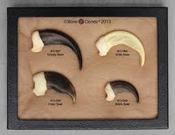 grizzly claws set of 4 claws in riker box bone clones inc