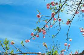 hello spring sacura blossom u2013 beachlovedecor com