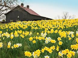 4 reasons why your daffodil bulbs aren u0027t blooming southern living