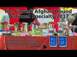weimaraner vs afghan hound afghan hound funny video funnydog tv