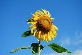 Grow Your Own Sunflower House  HONOLULU Family