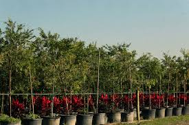 ornamental shrubs and tree services almond tree wholesale nursery