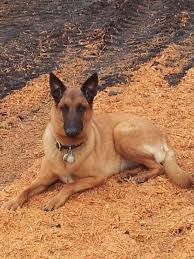 belgian shepherd quebec saw dust dogs
