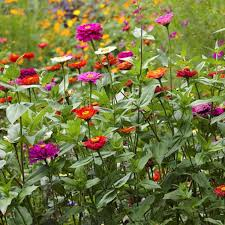 zinnia flower zinnia elegans seeds for your butterfly garden