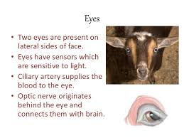 Goat Eye Anatomy Anatomy Of Head And Cervical Region Of Goat