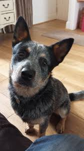 341 best australian cattle dogs blue red heelers images on