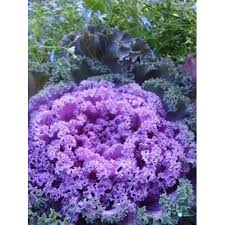 ornamental kale blue mixed flower seeds for gardening 1 packet