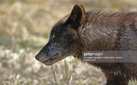 black wolf side view banff national park canada stock photo
