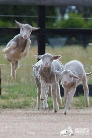 169 best inspiration sheep images on pinterest animals sheep