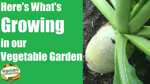 the vegetable gardening show update on what is growing in my
