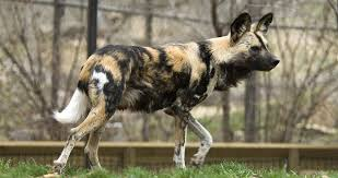 Kansas Wild Animals images Wilddog kansas city zoo jpg