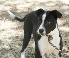 incrocio border collie x australian shepherd dd 141 bogle beagle u0026 boxer designer dogs ii pinterest