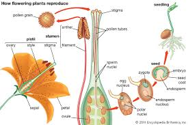 Which Is A Reproductive Cell Plant Reproductive System Britannica Com
