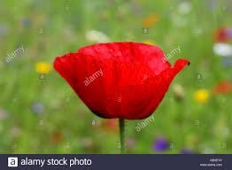 side view of vibrant poppy flower petals stock photo royalty free