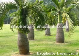 kentia palm seeds for ornamental buy kentia palm flower seed