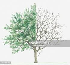 illustration showing shape of deciduous cornus mas tree with green