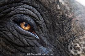 elephant eye color close up of elephant u0027s eye remnants of paint