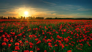 red poppy garden flower wallpapers nature images plants hd