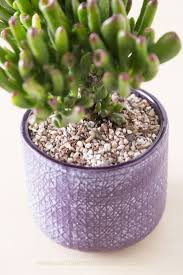 how to plant a succulent succulents and