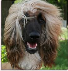 afghan hound puppies ohio afghan hound for more photos visit dogsarena com dog breeds