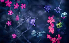 hd images of flowers nemophila flowers 6975624