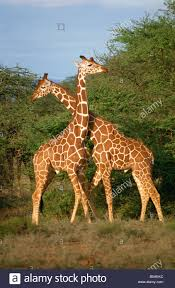 reticulated giraffe samburu kenya east africa africa stock photo