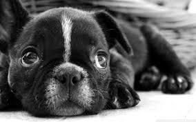 halloween background puppy black french bulldog puppy hd desktop wallpaper high definition