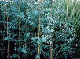 silver drop eucalyptus eucalyptus gunnii blue post a plant online