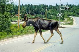 Vermont wildlife images Vermont to start multi year moose study wamc jpg