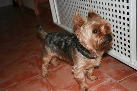 yorkie haircuts for a silky coat how to care for yorkie hair pets