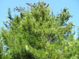 growing facts about the umbrella pine