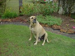 file big dog in backyard jpg wikimedia commons
