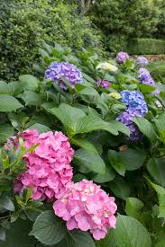 How To Revive A Plant How To Prune Hydrangeas Change Their Color Revive Wilting Blooms