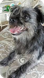 affenpinscher missouri affenpinscher dog for adoption in morehead ky adn 451017 on