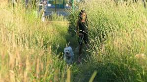 bichon frise years a cute 9 year old asian walks her bichon frise dog through a