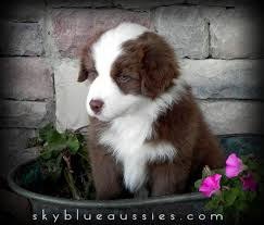 miniature australian shepherd 8 weeks australian shepherd colors aussie color chart and dog food