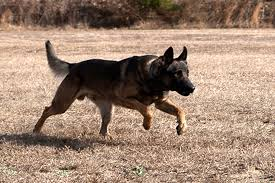 belgian shepherd navy seals bomb sniffing dogs that hunt off leash and the future of k9s new