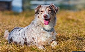 australian shepherd standard australian shepherd tongue grass holiday dog wallpaper free