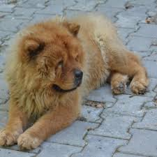 lion dogs the lion dog breed breed dogs picture