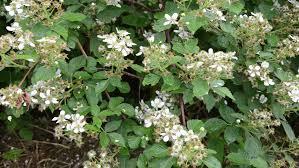 Shrub Small White Flowers - deflorate big green blackberry bush in the rain dropping small