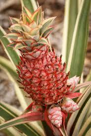 ornamental pineapple plant stock photo image 74047613