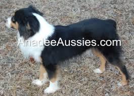 australian shepherd black miniature australian shepherds