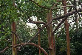sending postcards rainbow eucalyptus colourful trees in hawaii