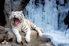 best of white tigers a gallery on flickr