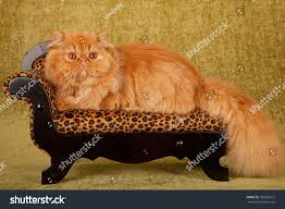 Leopard Print Chaise Red Persian Cat On Miniature Leopard Stock Photo 152863913