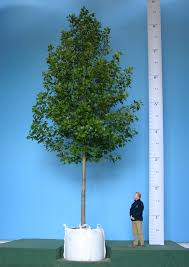 5 reasons to buy large trees barcham trees