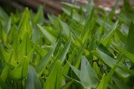 grass soft blades sharp green green color growth free image