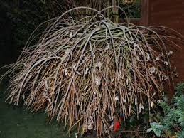 weeping willow type tree in the garden grows on you