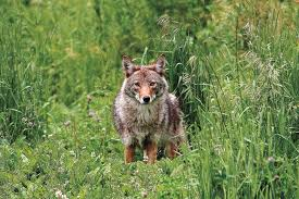 Can Coyotes See Red Light What Is The Coyote Color Foremost Coyote Hunting